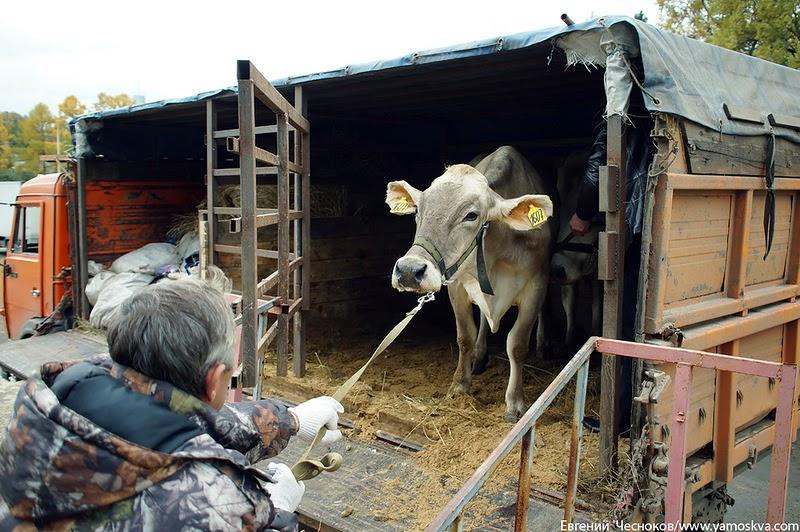 Загрузка и выгрузка крупного рогатого скота